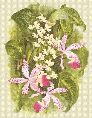 C-207 Orchids